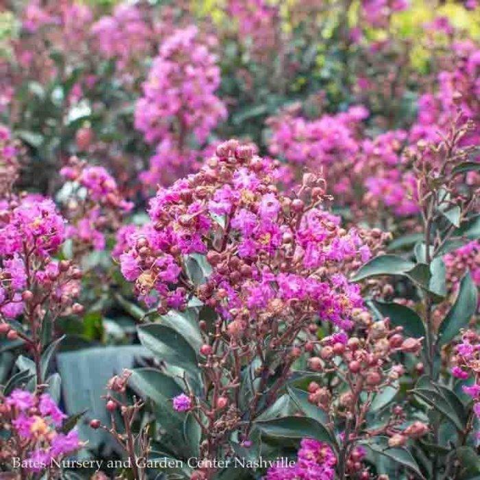 #3 Lagerstroemia Enduring Summer Lavender/Crape Myrtle Dwarf Light-lavender
