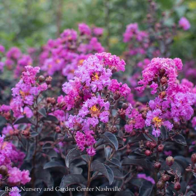 #3 Lagerstroemia Black Diamond Purely Purple/Crape Myrtle Medium-purple