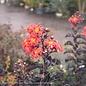 #3 Lagerstroemia Thunderstruck Rumblin Red/Crape Myrtle Dark Leaf