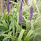 #1 Liriope muscari Variegata/Monkey Grass Variegated