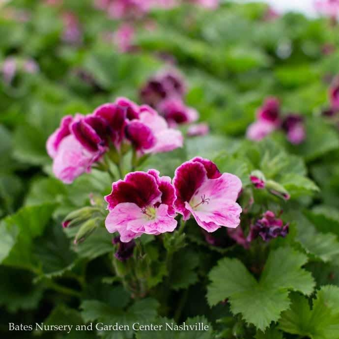 6P Geranium Martha Washington Assorted  9.99 (Please Specify Color In The Comment Section)