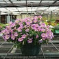10Hb Hanging Basket Fancy Annual 19.99 (Please specify in comment section)