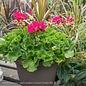 10p Zonal Geranium Assorted Colors