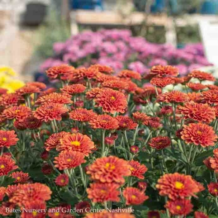 4P Chrysanthemum Mum Assorted