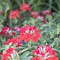 #1 Verbena Endurascape Red/Annual Not Hardy