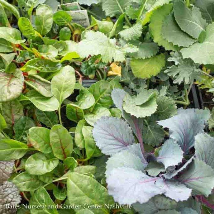 Flat (12 4-packs) Annual/Bedding Plant/Vegetable