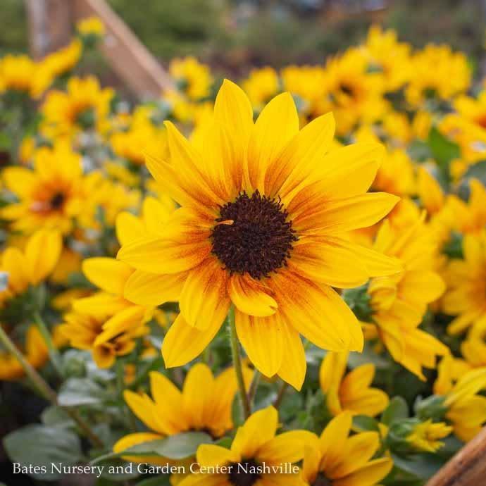 Tropical #2 Helianthus Sunbelievable/Brown-Eyed Girl Sunflower Non Warranty