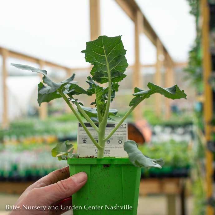 Edible 4 inch Pot Vegetable Broccoli