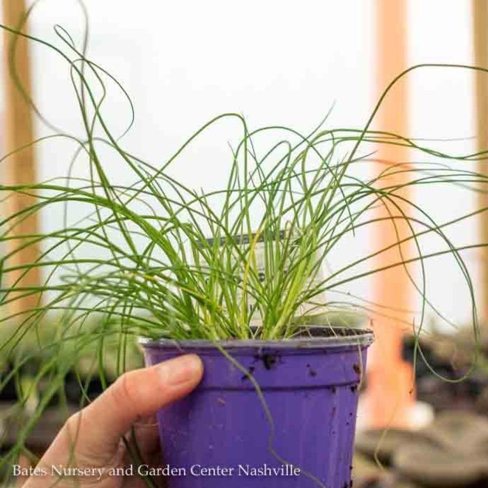 Edible 4 Inch Pot Herb Chives Onion
