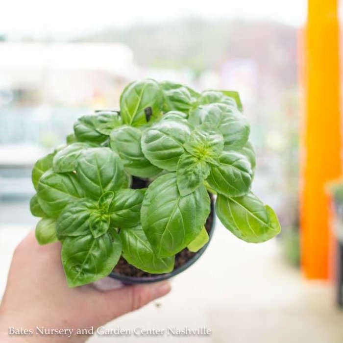 Edible 4 Inch Pot Herb Basil Sweet