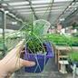 Edible 4 Inch Pot Herb Chives Garlic
