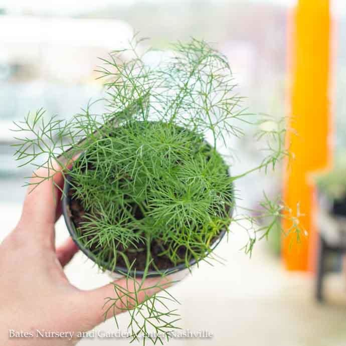 Edible 4 Inch Pot Herb Dill Fernleaf