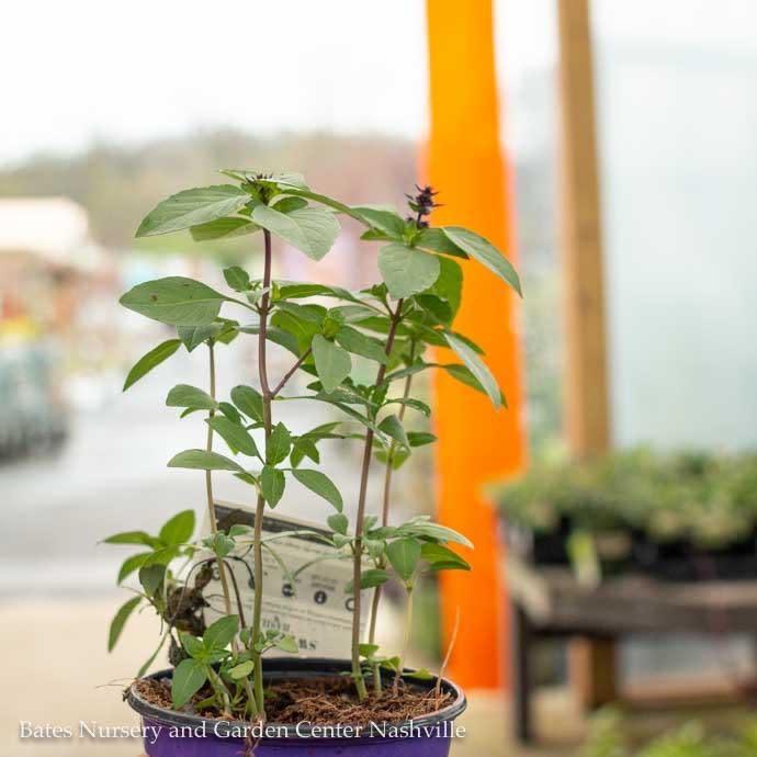 Edible 4 Inch Pot Herb Basil Sweet Thai