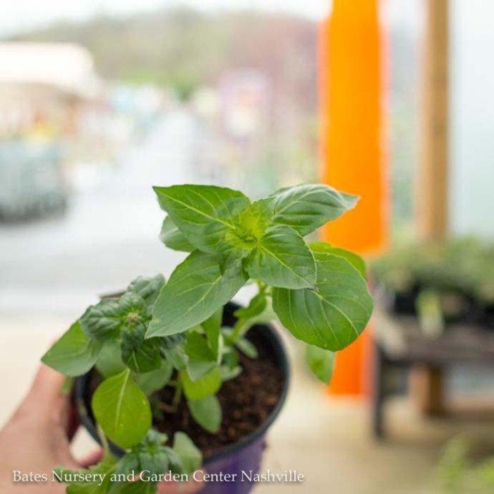 Edible 4 Inch Pot Herb Basil Lemon