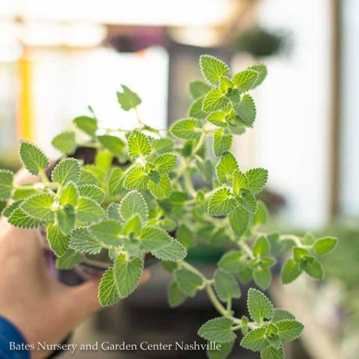 Edible 4 Inch Pot Herb Catmint