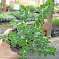 Edible 4 Inch Pot Herb Marjoram Sweet