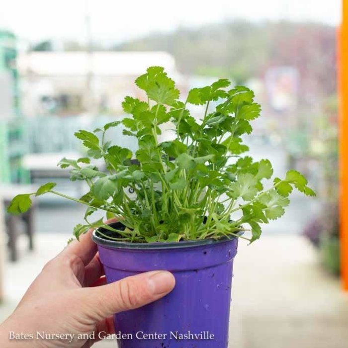 Edible 4 Inch Pot Herb Cilantro
