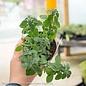 Edible 4 Inch Pot Herb Oregano