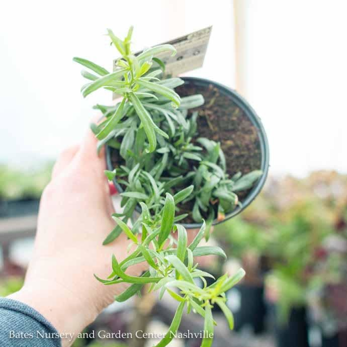 Edible 4 Inch Pot Herb Tarragon French