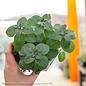 Edible 4 Inch Pot Herb Mint Lemon