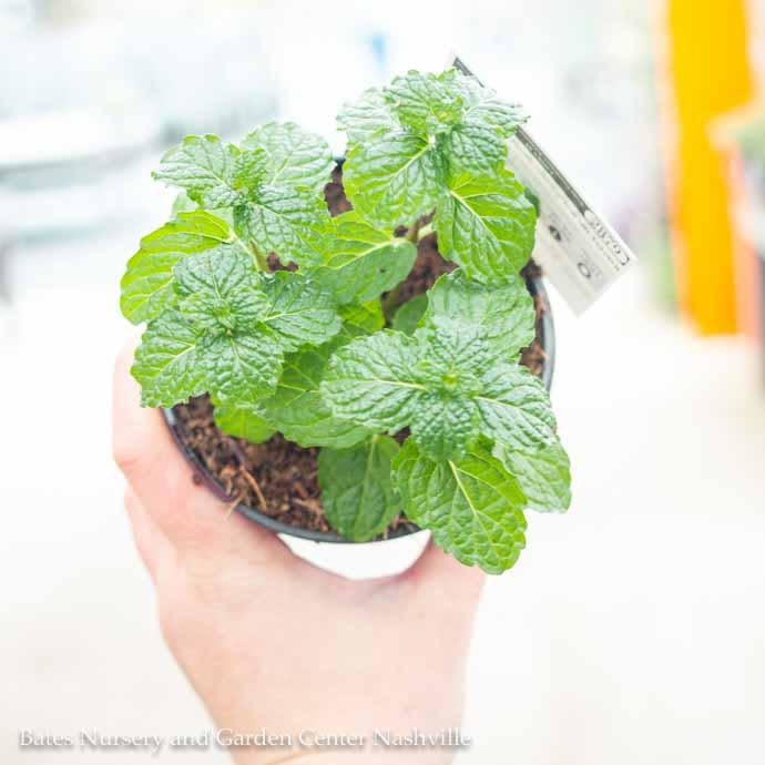 Edible 4 Inch Pot Herb Mint Mojito