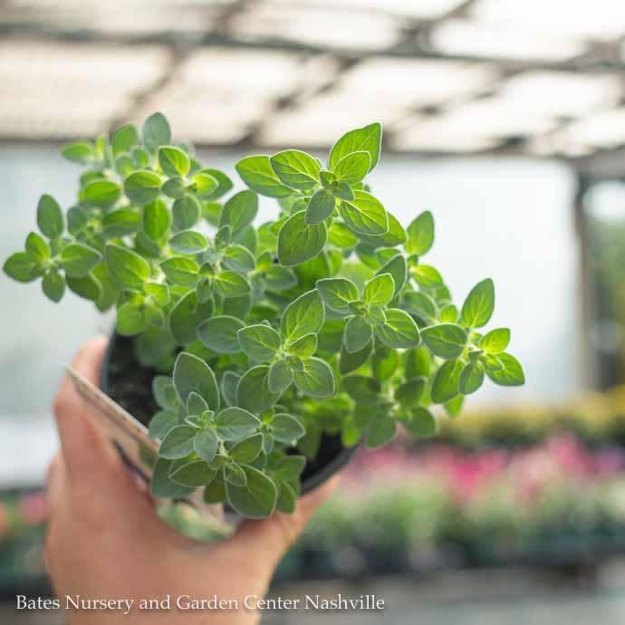 Edible 4 Inch Pot Herb Oregano Italian