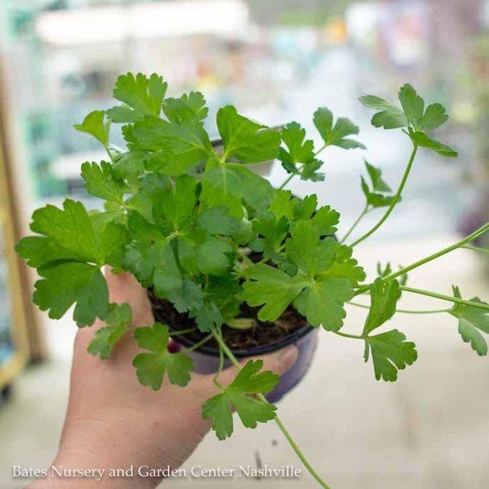 Edible 4 Inch Pot Herb Parsley Italian Flat Leaf