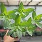 Edible 4 Inch Pot Herb Mint Peppermint