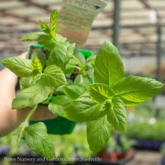 Edible 4 Inch Pot Herb Mint Julep