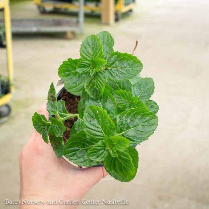 Edible 4 Inch Pot Herb Mint Spearmint