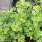 Edible 4 Inch Pot Herb Marjoram Sweet Variegated