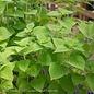 Edible 4 Inch Pot Herb Sage Honeydew Melon