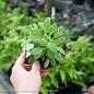 Edible 4 Inch Pot Herb Sage Golden