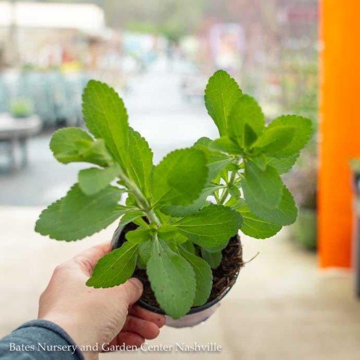 Edible 4 Inch Pot Herb Stevia Sugar Plant