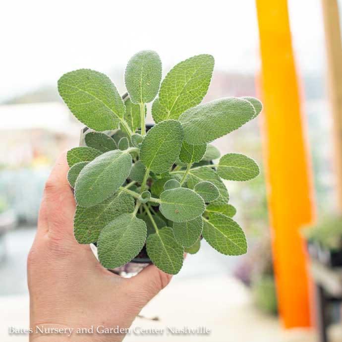 Edible 4 Inch Pot Herb Sage