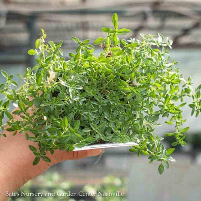 Edible 4 Inch Pot Herb Thyme English