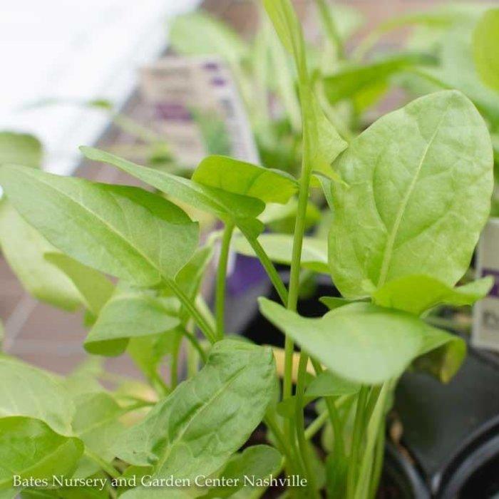 Edible 4 Inch Pot Herb Sorrel