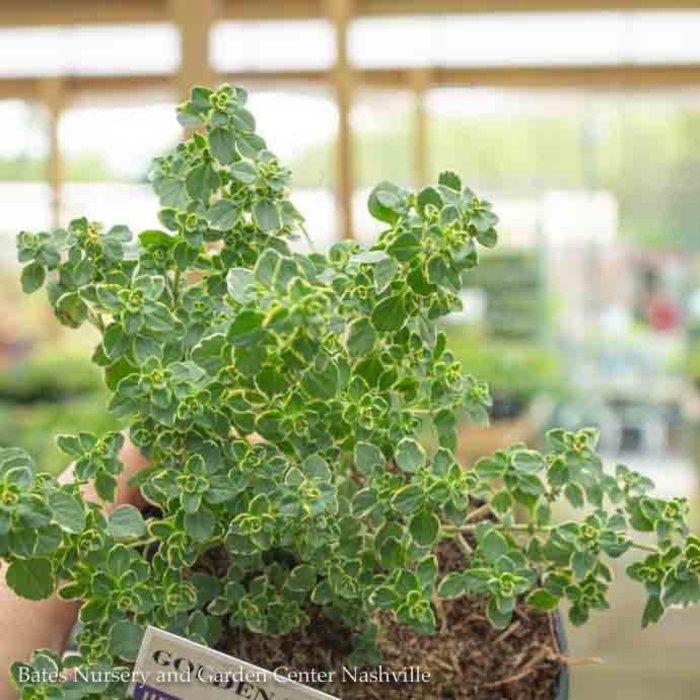 Edible 4 Inch Pot Herb Thyme Golden Lemon