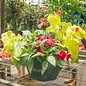 10 INCH Hanging Basket Annual Premium/or Mixed