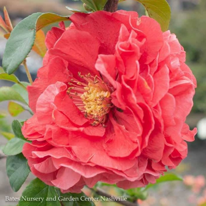 #3 Chaenomeles s. Double Take Pink Storm/Flowering Quince