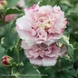 #3 Hibiscus syr Sugar Tip/Rose Of Sharon/Althea