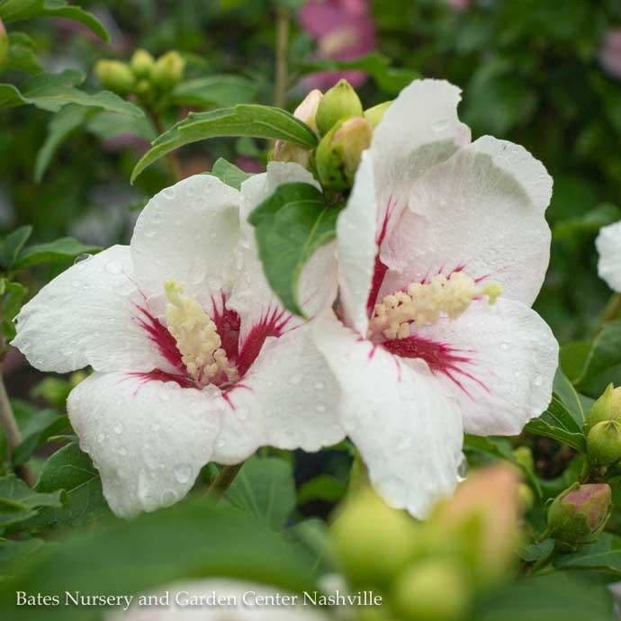 #2 Hibiscus syr Lil' Kim/Rose of Sharon/Althea
