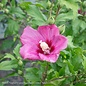 #2 Hibiscus syr Lil' Kim Red/Rose of Sharon/Althea