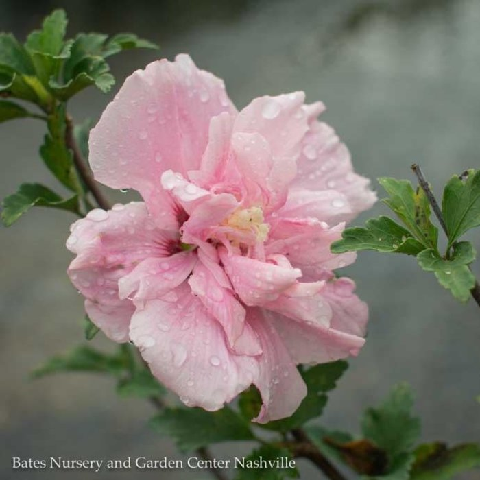 #3 Hibiscus syr Pink Chiffon/Rose of Sharon/Althea