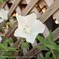#3 Hibiscus syr White Pillar/Rose Of Sharon/Althea Columnar