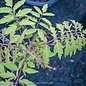 #5 Rhus Tiger Eyes/Staghorn Sumac