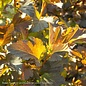#2s Physocarpus Center Glow/Ninebark