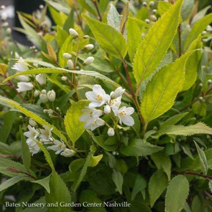 #2 Deutzia gracilis 'Nikko'/Dwarf Double White