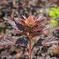 #2 Physocarpus op Diabolo/Ninebark