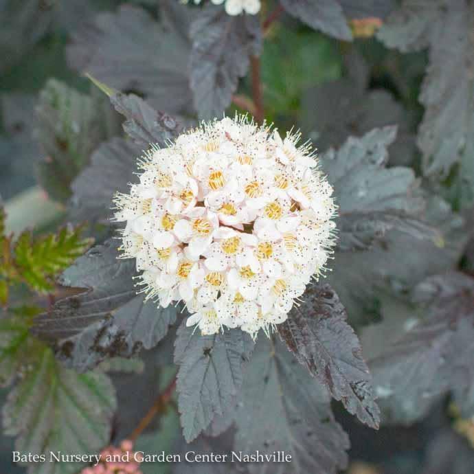 #5 Physocarpus op Diabolo/Ninebark